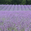 Lavender landscape — Stock Photo #31174159