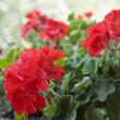 Beautiful red geraniums — Stock Photo