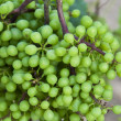 Hanging green grapes — Stock Photo #31251513