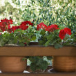 Pots of red geraniums — Stock Photo #31521509