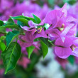 Bougainvillebackground — Stock Photo #31521681