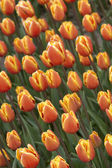 Bright orange tulips — Photo