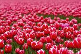 Красивые розовые тюльпаны — Стоковое фото