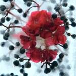 frysta pelargonium blomma — Stockfoto