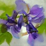 Frozen iris flower — Stock Photo