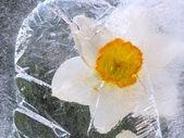 Mrożone narcissus kwiat — Zdjęcie stockowe