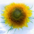 Stock Photo: Sunflower in ice