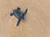 Close-up of baby Loggerhead sea turtle — Stock Photo
