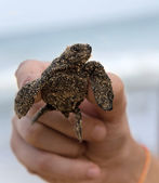 Loggerhead Turtle baby(Caretta carretta) in hand — Stock Photo