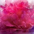 Frozen pink peony flower — Stock Photo