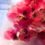 Frozen pelargonium flower — Stock Photo
