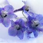 Frozen blue delphinium flower — Stock Photo