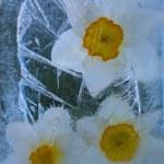 Frozen narcissus flower — Stock Photo