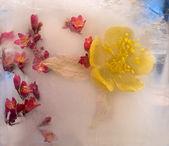 Background of aquilegiaflower frozen in ice — Stock Photo