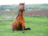 Funny brown horse sitting on green field — Stock Photo