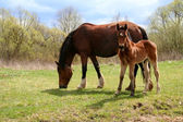 Horse and colt on green meadow — Stock Photo