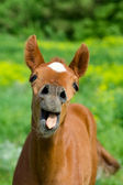 Young horse with open mouth — Stock Photo