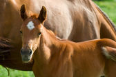 Landscape with horses: mare and her foal on green grass — Stock Photo
