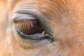 Detail of a red horse'e eye — Fotografia Stock