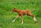 Horse Foal in field — Stock Photo
