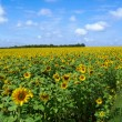Stock Photo: Field of sunflowers and blue sun sky