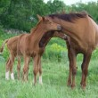 Stock Photo: Landscape with horses: mare and her foal on green grass