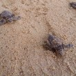 Постер, плакат: Baby turtles making its way to the ocean