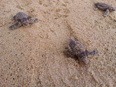 Baby turtles making it's way to the ocean — Stock Photo