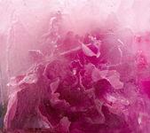ピンクの牡丹の花を凍結 — ストック写真
