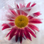 Flowers of camomile frozen in ice, art winter background. — Stock Photo