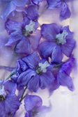 Flowers of delphinium frozen in ice, art winter background. — Stock Photo