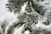 Ice on pine tree — Stok fotoğraf