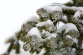 Winter scene - frost on pine tree — Stockfoto