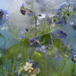 Background of forget-me-not flower frozen in ice — 图库照片
