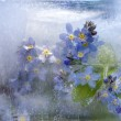 Background of forget-me-not flower frozen in ice — Stock fotografie