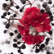 Stock Photo: Frozen red pelargonium flower and Parhenocissus