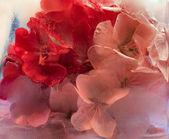 Frozen pink pelargonium flower — Stock Photo
