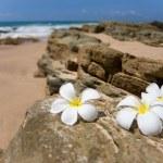 Three white frangipani (plumeria) spa flowers on rough stones — Stock Photo #48528347