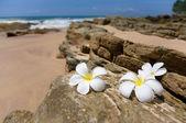 Three white frangipani (plumeria) spa flowers on rough stones  — Stock Photo