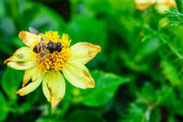 Fly pollinating a yellow flower on a background of green leaves — Stock Photo