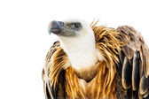 Vulture looks into the distance — Stock Photo