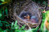 Chick in a nest in a thicket of grass — Stock Photo
