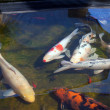 Koi fish in pond — Stock Photo