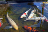 Koi fish in pond — Stock Photo