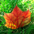 Stock Photo: maple leaf&quot