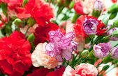 Dianthus, carnation pink — Stock Photo