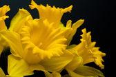 Narcissus yellow daffodil jonquilla — Stock Photo