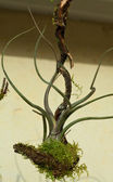Tillansia — Stock Photo