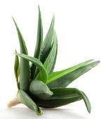 Aloe vera plant isolated on white — Stock Photo