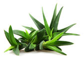 Aloe vera plant isolated on white — Stock Photo
